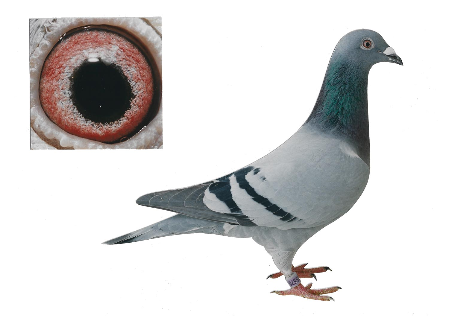 Beautiful Eye - Top Pigeon - De Belser Johan