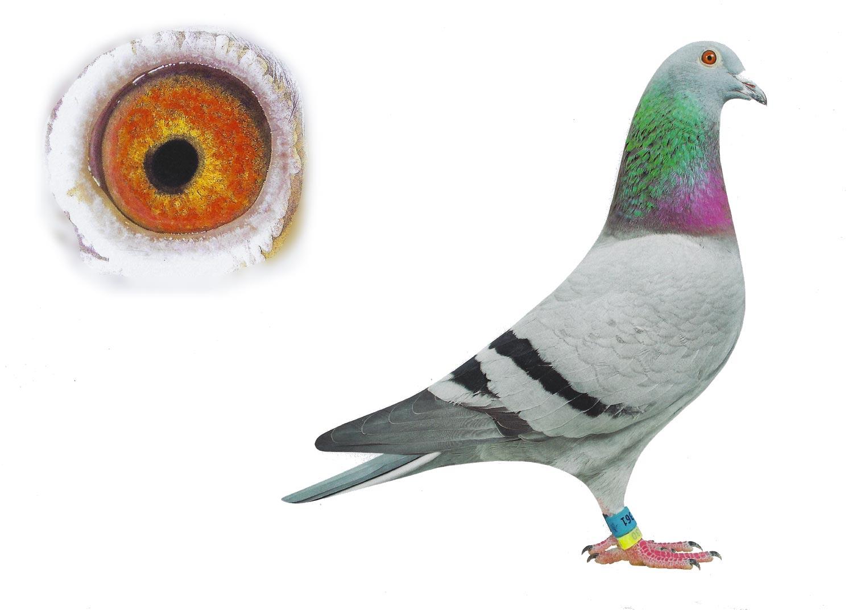 Dayla - Top Pigeon - De Belser Johan