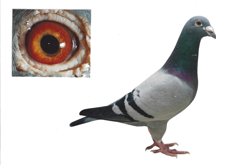 De Belofte - Top Pigeon - De Belser Johan