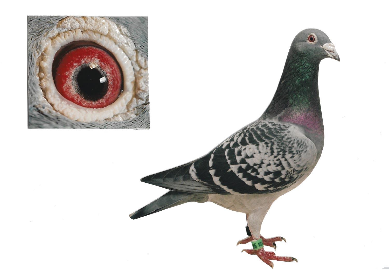 De Marcel - Top Pigeon - De Belser Johan