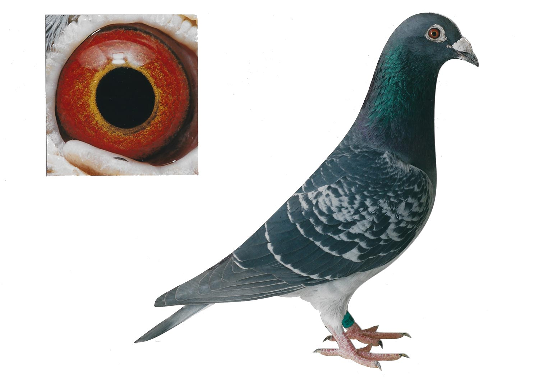 Diepen - Top Pigeon - De Belser Johan
