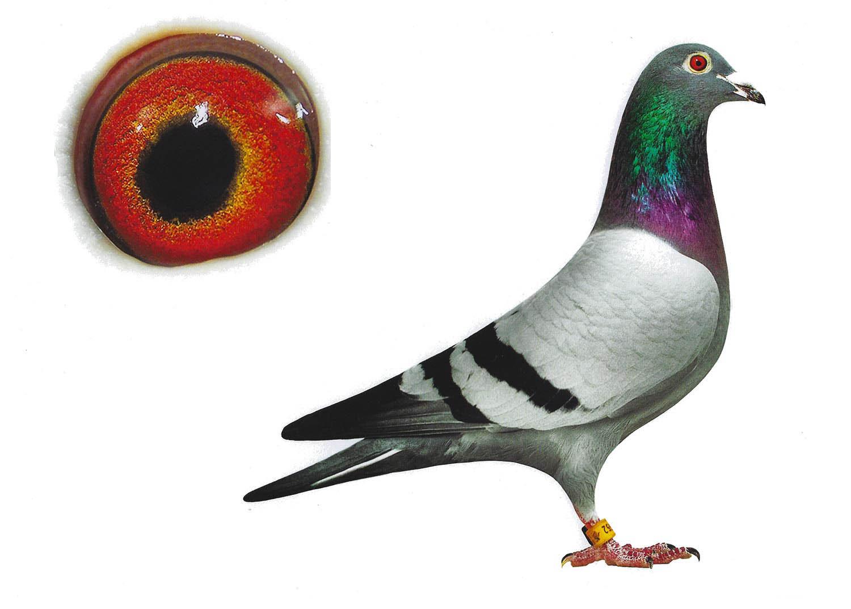 Enkel 500 - Top Pigeon - De Belser Johan