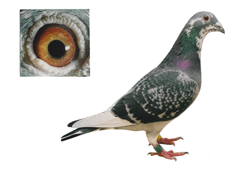 La Souty 5 - Top Pigeon - De Belser Johan