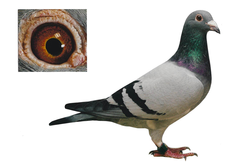 La Souty - Top Pigeon - De Belser Johan