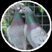Logo De Belser Johan Racing Pigeons