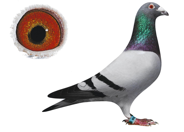 Primero - Top Pigeon - De Belser Johan
