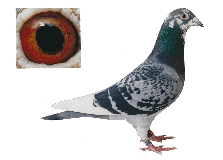 White Spirit - Top Pigeon - De Belser Johan