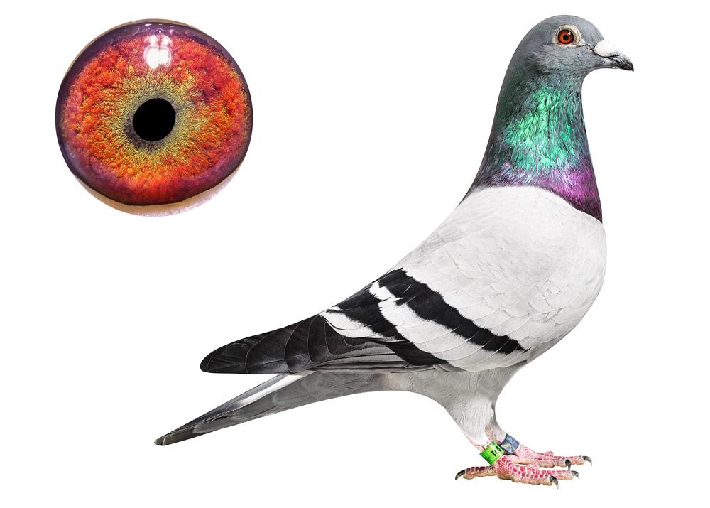 091 - Rainbow - De Belser Johan Racing Pigeons Belgium