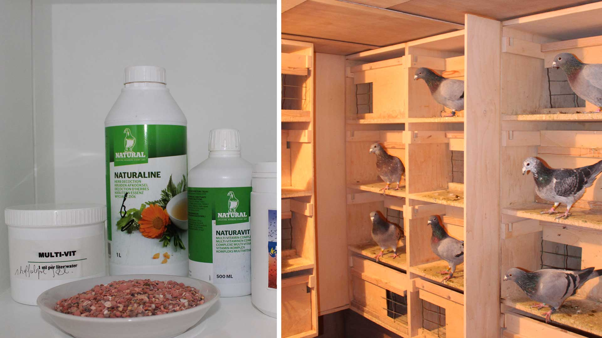 Breeding of pigeons, the preparation and pairing of pigeons De Belser Johan Racing Pigeons Belgium