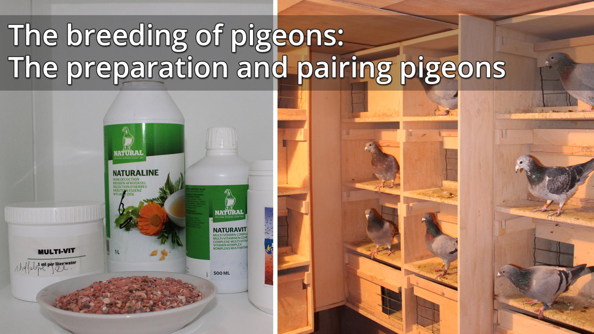 The breeding of pigeons: the preparation and pairing pigeons - De Belser Johan