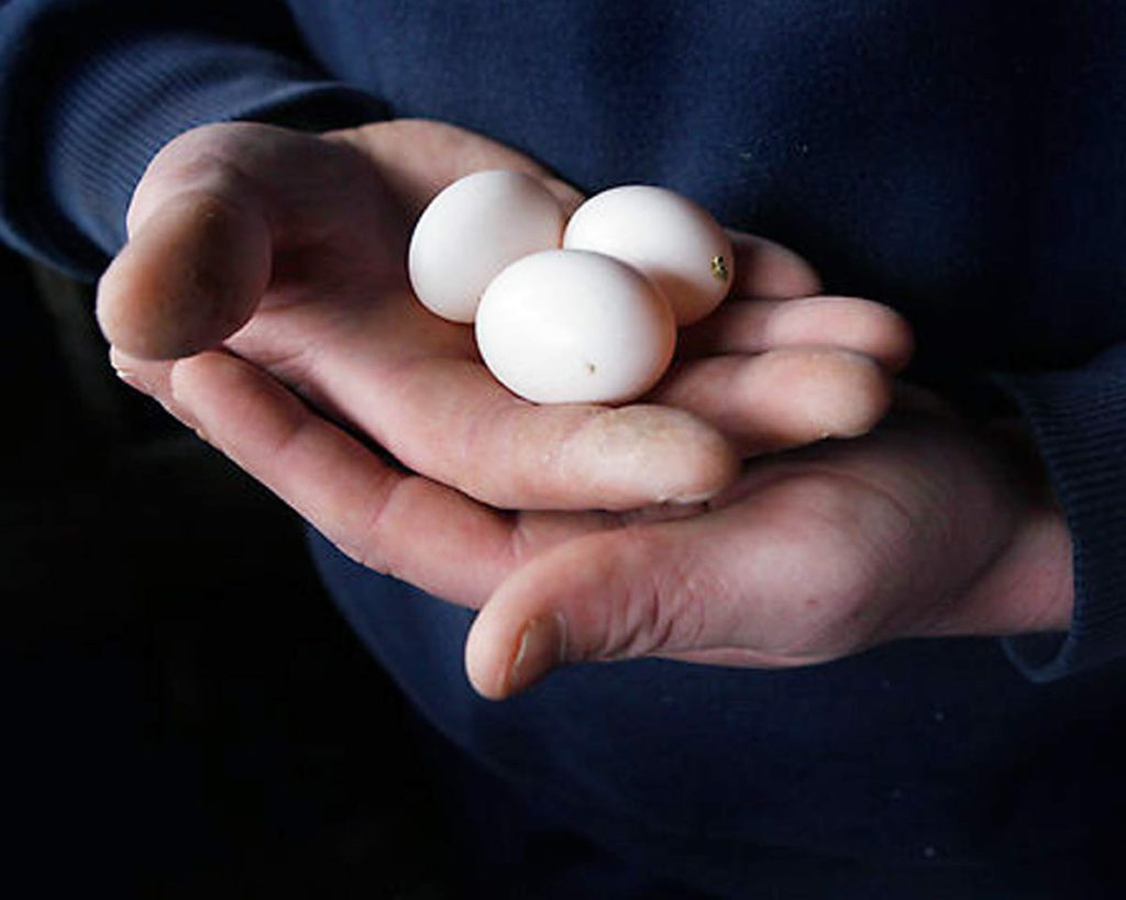 Guy-holding-racing-pigeons-eggs