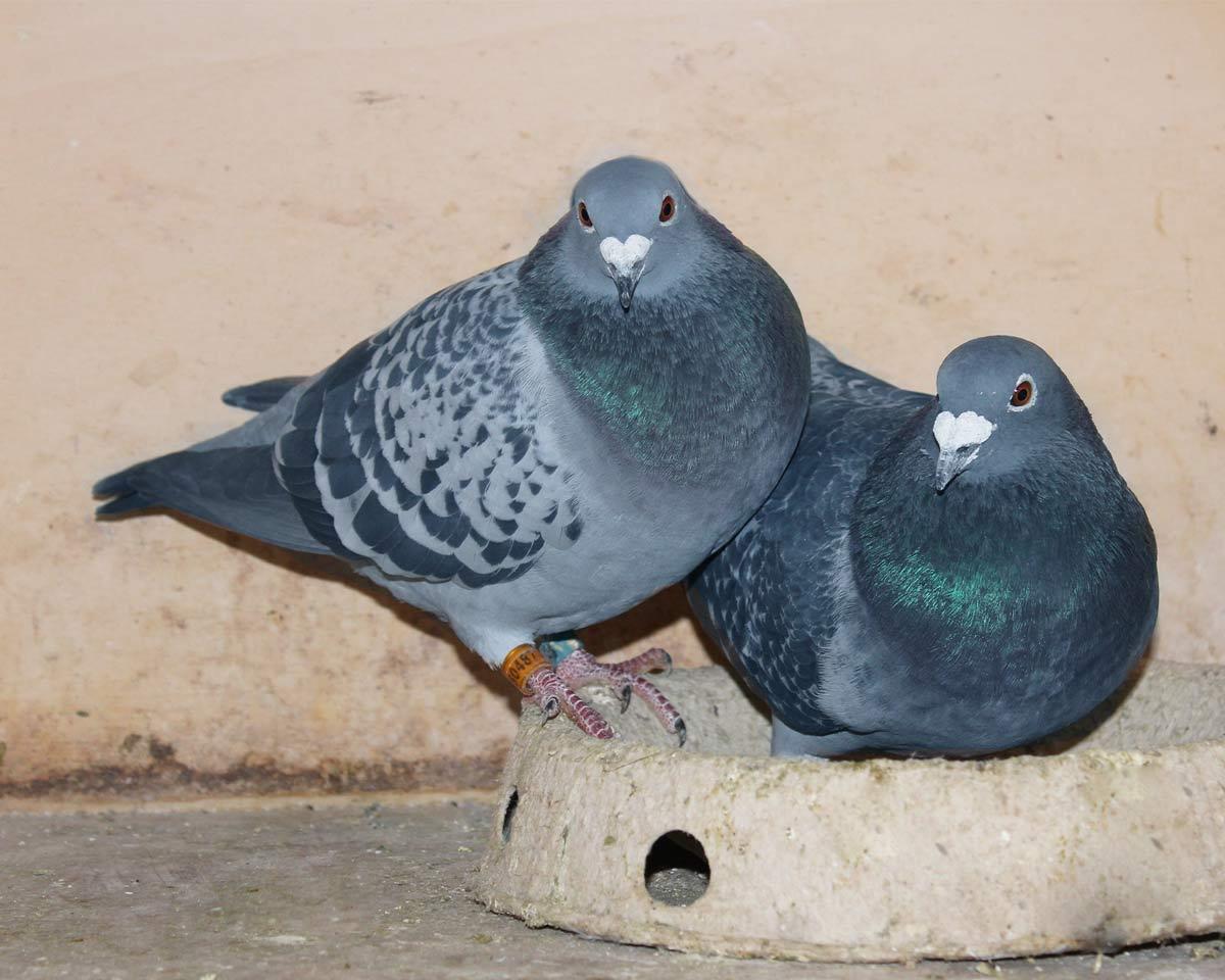 Couple of beautiful breeding pigeons - De Belser Johan Racing Pigeons Belgium